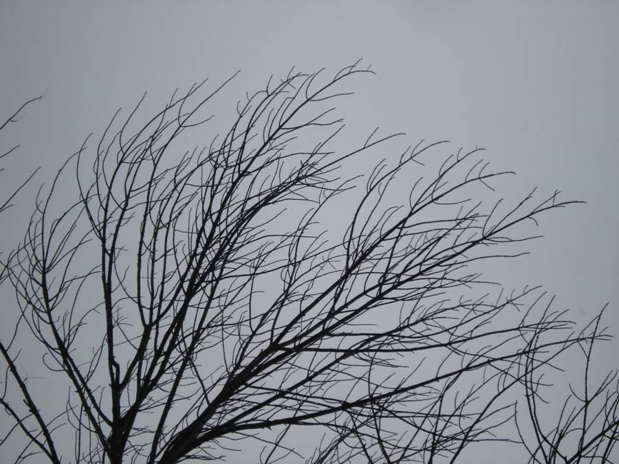 Fig. 6.  Ash: bare branches in winter.  Note the opposite branches.  The side (lateral) branches are long-ish and generally curve towards the tip of each branch.