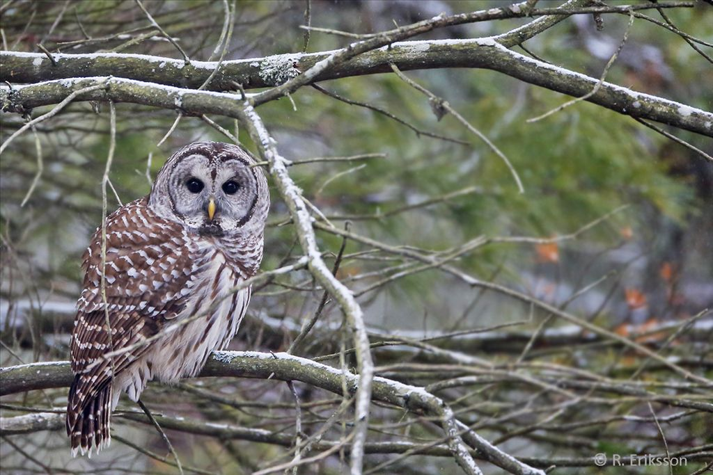 Barred Owl by Roger Eriksson
