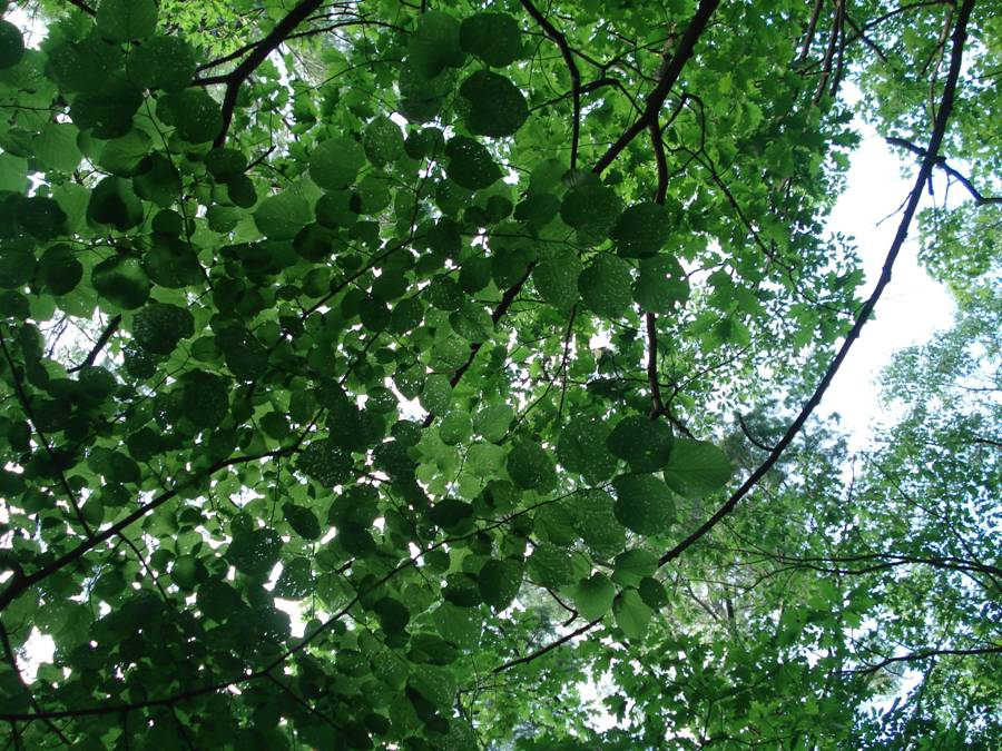 Fig. 12. Looking up at Basswood canopy showing the umbrella-like effect.