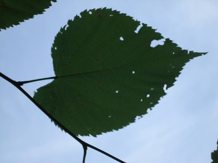 Fig. 2. Basswood leaf looking up from the ground.