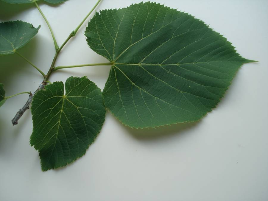 Fig. 4. Basswood leaves on twig showing alternate pattern and the  natural variation in shape of the more or less lopsided heart-shaped leaves.
