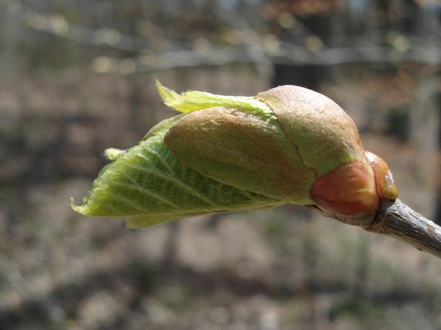 Fig. 6.  Basswood leaf emerging from end bud.  Note orangish color of the scales near the twig.