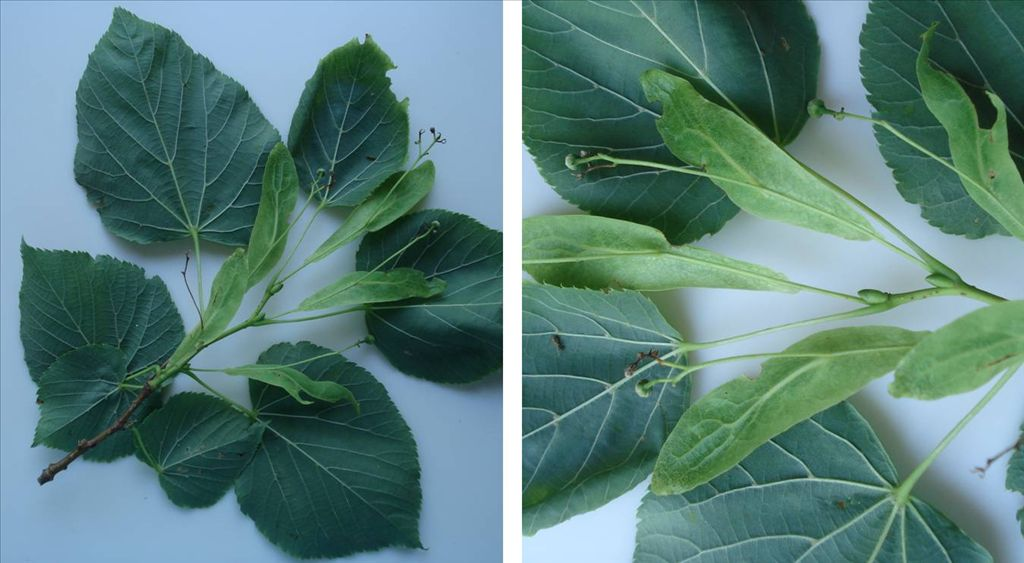 Fig. 7.  Underside of Basswood shoot showing young fruit as it develops from fertilized flowers hanging down on a flower stalk (peduncle) which is attached about half-way along a narrow, leaf-like bract.  The bracts are a lighter green than the leaves.