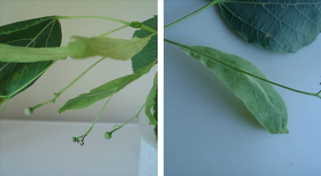 Fig. 8.  Close-ups of Basswood bracts with the flower stalk (peduncle),  and then fruit, attached about halfway along the narrow, leaf-like bracts.