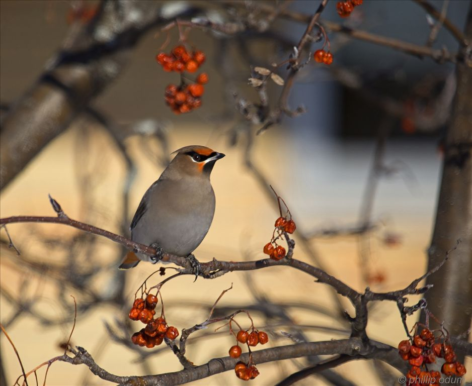 Bohemian Waxwing by Phil Odum
