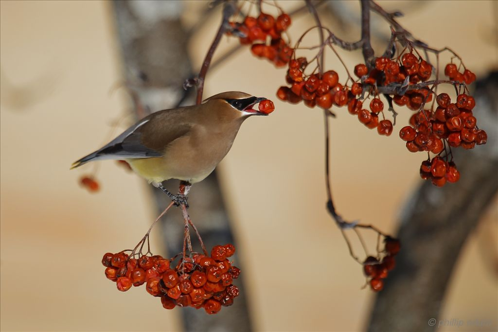 Cedar Waxwing by Phil Odum