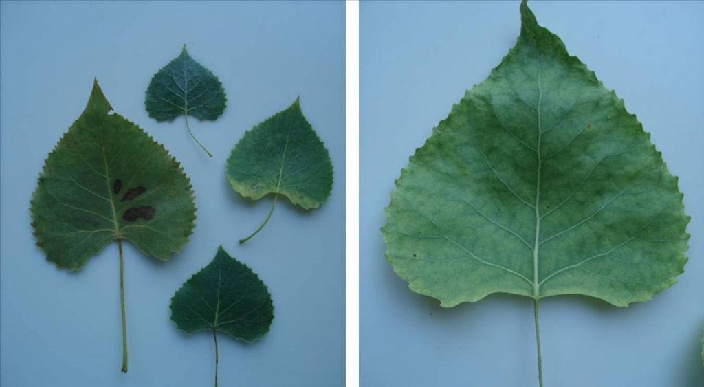Fig. 2.  Individual Cottonwood leaves showing  natural variation in shape.