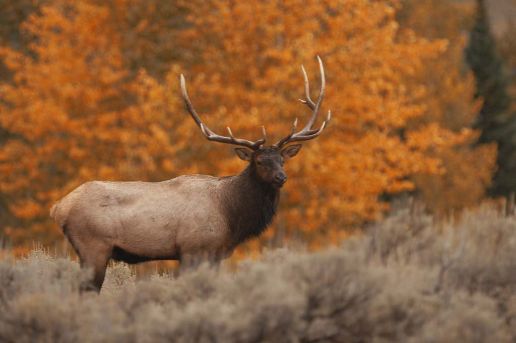 elk_in_fall.jpg