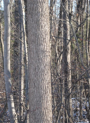 "Fig. 1.  Ash trunk: note the tightly ""corrugated Y"" pattern, typical of ashes (before Emerald Ash Borer).  Seeing this bark pattern in winter is enough to identify an Ash, although it is good to verify with  other characteristics."