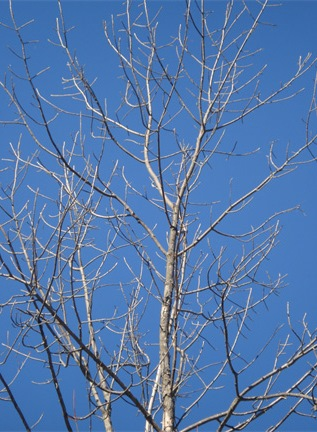 "Fig. 3.  Green Ash: note the general ""messy""-looking branches (in winter)."