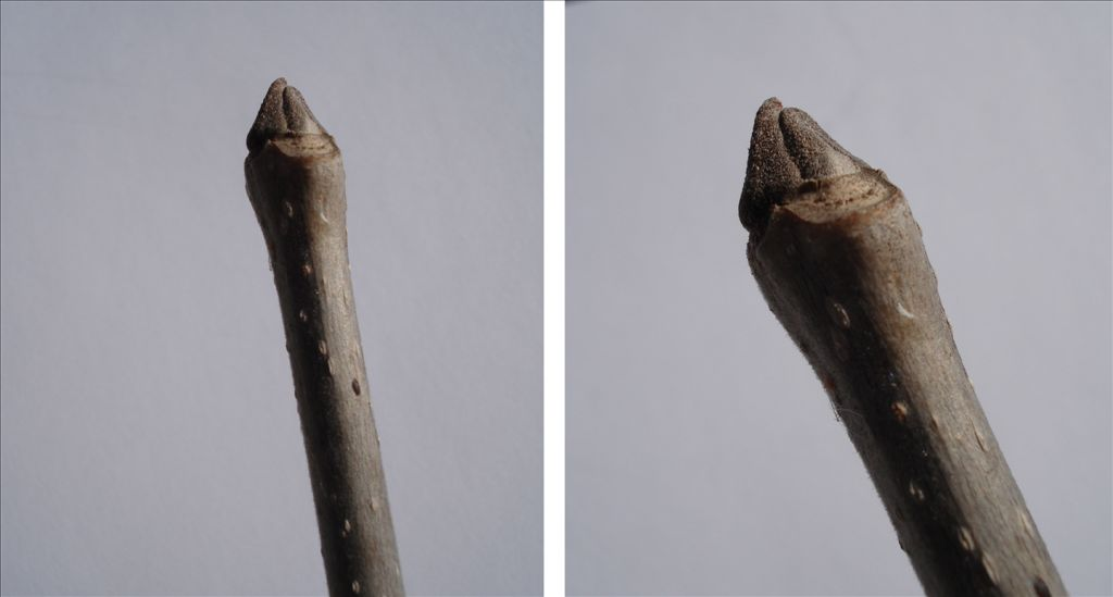 Fig. 4. Ash terminal buds; easy to see on young trees; too far away on tall trees.  They are an identifying feature in winter and spring, along with the bark pattern, opposite branching, and messy-looking branches.