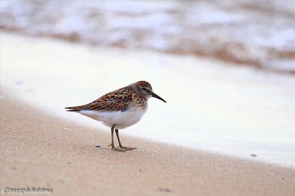Least sandpiper by Phil Odum