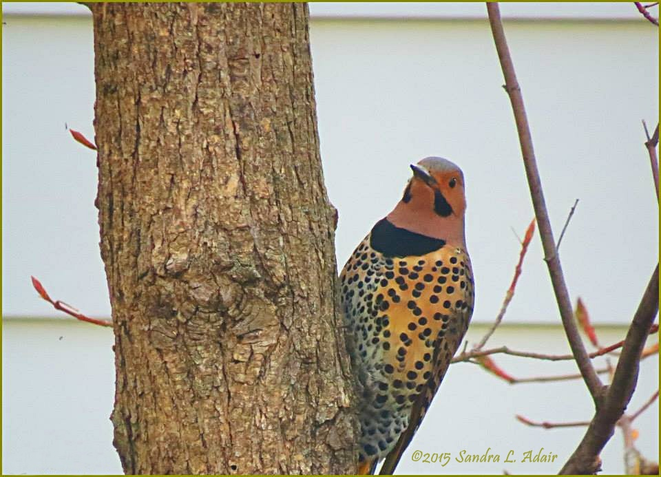 Northern Flicker by Sandra Adair