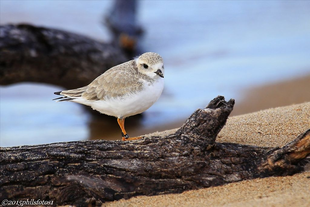 Piping Plover by Phil Odum