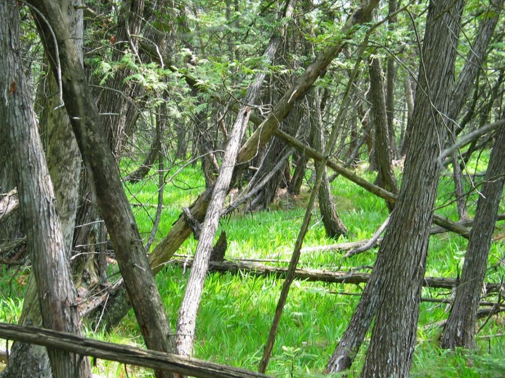 rich_cedar_swamp.jpg