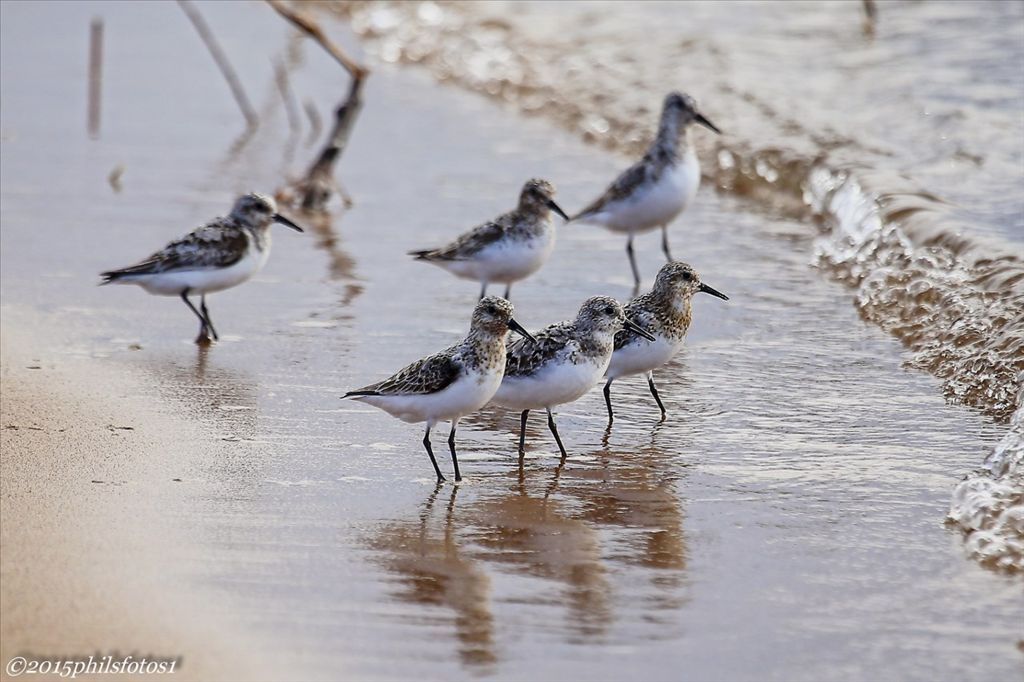 Sanderlings by Phil Odum