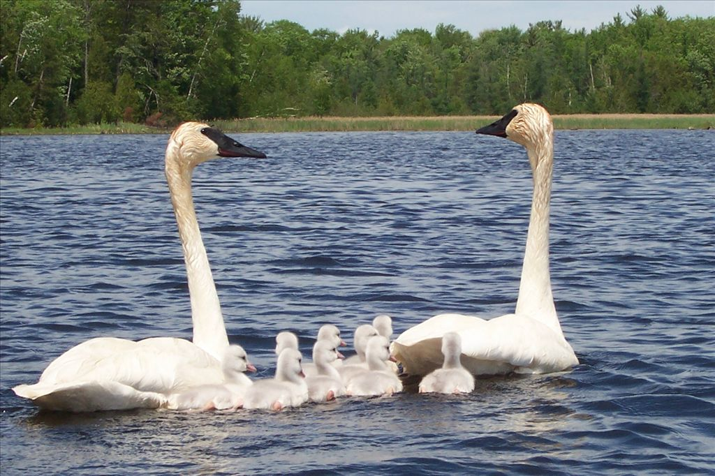 Trumpeter Swans by Peggy Ridgway