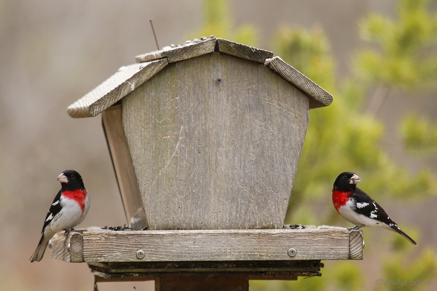 Rose breasted Grosbeaks